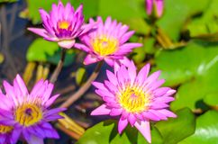 Purple lotus blossom. In the pond stock photos