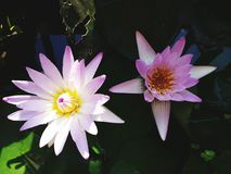 The purple lotus is blossoming. Royalty Free Stock Photo
