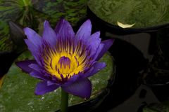 Purple lotus blossoms or water lily flowers blooming on pond Stock Images