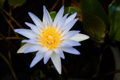 Purple lotus blossoms or water lily flowers blooming on pond Royalty Free Stock Photography