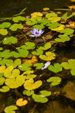 Purple lotus blossoms or water lily flowers Royalty Free Stock Photography