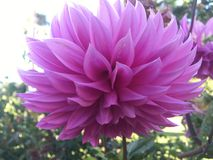Purple lotus at the bothanical garden Royalty Free Stock Photography