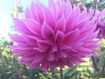 Purple lotus at the bothanical garden Stock Image