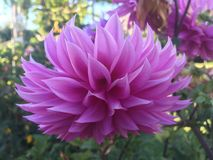 Purple lotus at the bothanical garden Royalty Free Stock Images