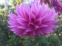 Purple lotus at the bothanical garden Royalty Free Stock Image