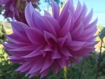 Purple lotus at the bothanical garden Stock Photography