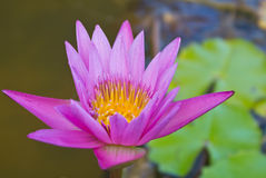Purple Lotus. The Buddhist people would planted lotus for worship the Buddha Stock Photography