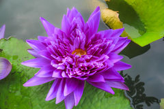 Purple Lotus. The Buddhist people would planted lotus for worship the Buddha Royalty Free Stock Photo