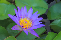 Purple Lotus. The Buddhist people would planted lotus for worship the Buddha Stock Photo