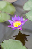 Purple lotus. Chiang Mai, Thailand - 06.13.2015 - Plants Royal Botanic Gardens of Thailand Stock Photo