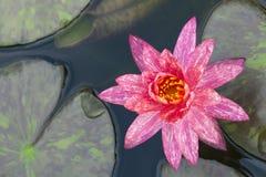 Purple lotus close up. As texture stock photo