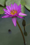 Purple lotus close up. As texture stock images