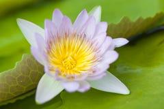 Purple lotus close up. As texture stock photos