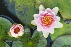 Purple lotus close up. As texture stock photography