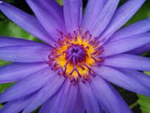 Purple water lily flowers Stock Photos