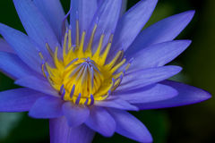 Purple lotus closed up with dark background Royalty Free Stock Photography