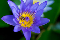 Purple lotus closed up with dark background Royalty Free Stock Images