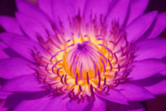 Purple lotus Royalty Free Stock Photo