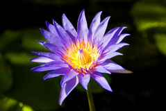 Purple Lotus on dark background. The closeup of Purple Lotus on dark background royalty free stock photography