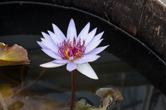 Purple lotus in dark water Royalty Free Stock Photography
