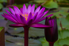 Purple lotus. Lotus dictator Purple purple flowers with buds, buds, true colors, pretty much like velvet stock images