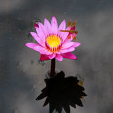 Purple lotus with dragonfly Royalty Free Stock Photo