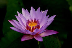 Purple lotus. Floral macro lotus which have fine details Stock Photos
