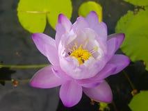 Purple lotus flowe. Beautiful blooming of purple lotus flower or water lily Royalty Free Stock Image