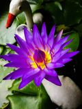 Purple lotus. Flower Royalty Free Stock Photography