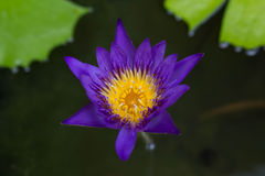 Purple  Lotus flower Royalty Free Stock Photo