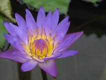 Purple Lotus Flower. Beautiful purple lotus flower in a pond royalty free stock photography