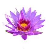 Purple lotus flower Royalty Free Stock Image
