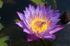 Purple lotus flower with bee close up. Stock Photo