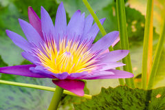 Purple lotus flower with bee fly yellow pollen Royalty Free Stock Image