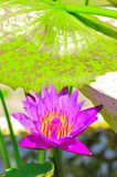 Purple lotus flower with big green leaves. Macro and close up view of a beautiful purple lotus flower in a small pond Stock Image