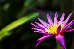 Purple lotus flower bloom Royalty Free Stock Photography