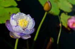 Purple lotus flower in pool Stock Images