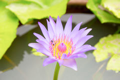 Purple lotus flower blooming Stock Photography