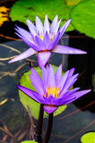 Purple lotus flower blossom Stock Images