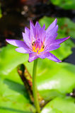 Purple lotus flower. The bug in purple lotus flower Stock Images