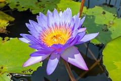 Purple lotus flower floating Stock Images