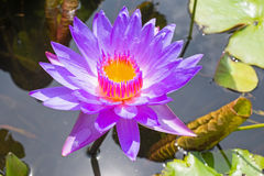 Purple lotus flower floating on water Royalty Free Stock Image