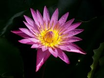 Purple lotus flower is full bloom,very beautiful. royalty free stock photos
