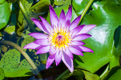 Purple lotus flower. In garden Royalty Free Stock Photography