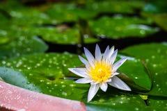 Purple lotus flower in garden. Purple lotus flower with dew in garden looking fresh Stock Image