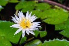 Purple lotus flower in garden. Purple lotus flower with dew in garden looking fresh Royalty Free Stock Photo