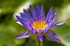 Purple lotus flower. On green background Stock Photos
