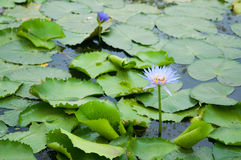 Purple Lotus flower on green leaf in water. Show nature concept Royalty Free Stock Photography