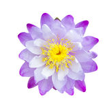 Purple lotus flower Royalty Free Stock Images