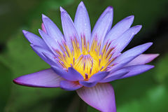 Purple Lotus Flower Macro. Macro of a Purple Lotus Flower in Bloom Stock Photo